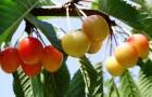 Сорт черешни: Краса Кубани
