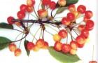 Сорт черешни: Орловская розовая