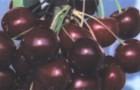 Сорт черешни: Память о Кайсыне