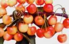 Сорт черешни: Ранняя розовая