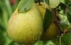 Сорт груши: Аннушка