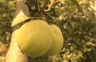 Сорт груши: Черномяска буерачная