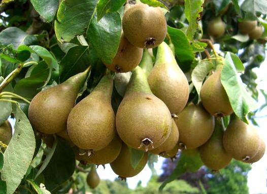 Сорт груши: Дагестанская летняя