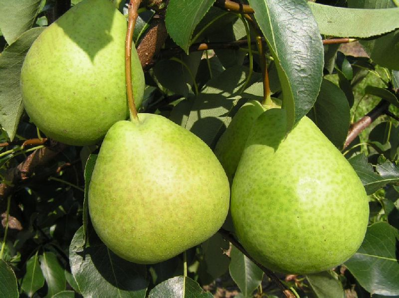 How to choose a winter pear variety