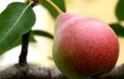 Сорт груши: Февральский сувенир