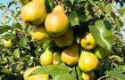 Сорт груши: Кубанская сочная
