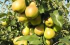 Сорт груши: Лада амурская (Лада, Дедова)