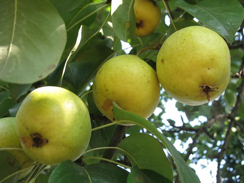 Сорт груши: Лимонка
