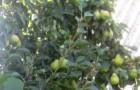 Сорт груши: Оленёк (Золушка)