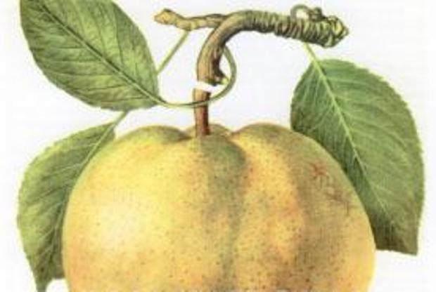 Сорт груши: Оливье де Серр
