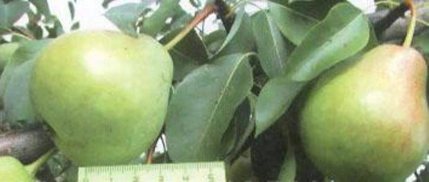 Сорт груши: Осенняя Яковлева