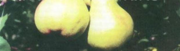 Сорт груши: Основянская