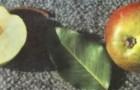 Сорт груши: Повислая