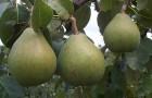 Сорт груши: Сочинская ананасная