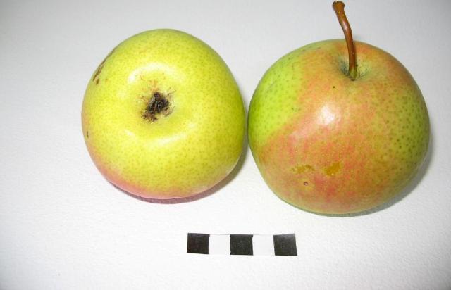 Сорт груши: Яблоковидная