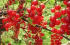 Сорт красной смородины: Алая зорька