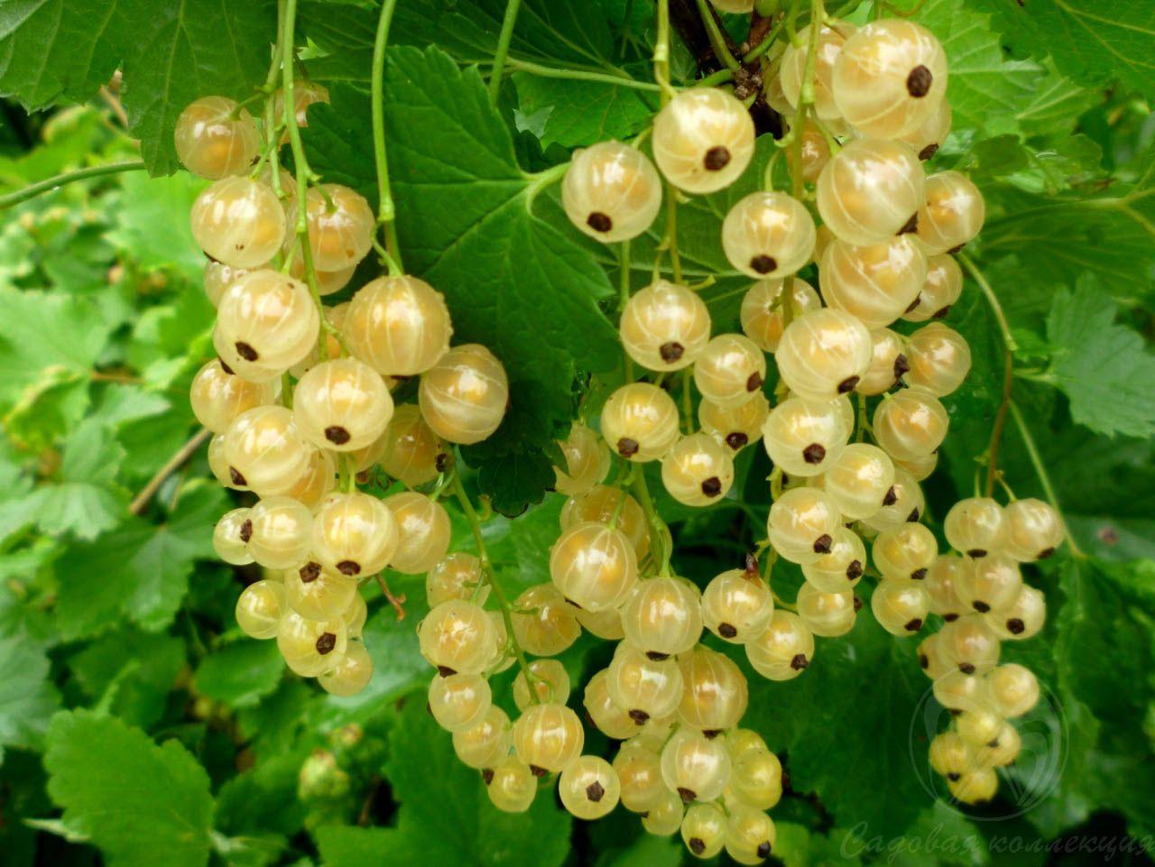 Сорт красной смородины: Белая Потапенко