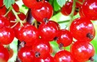 Сорт красной смородины: Голландская красная (Hollandische Rote, Prins Albert)