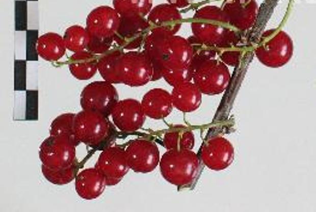 Сорт красной смородины: Красная Андрейченко
