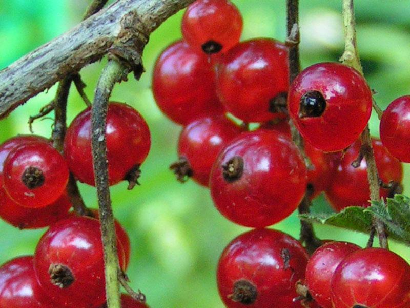 Сорт красной смородины: Огни Урала