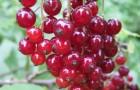 Сорт красной смородины: Орловчанка