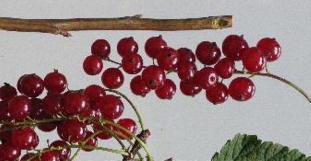 Сорт красной смородины: Осиповская
