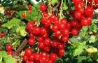 Сорт красной смородины: Память Губенко
