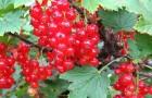 Сорт красной смородины: Подарок лета