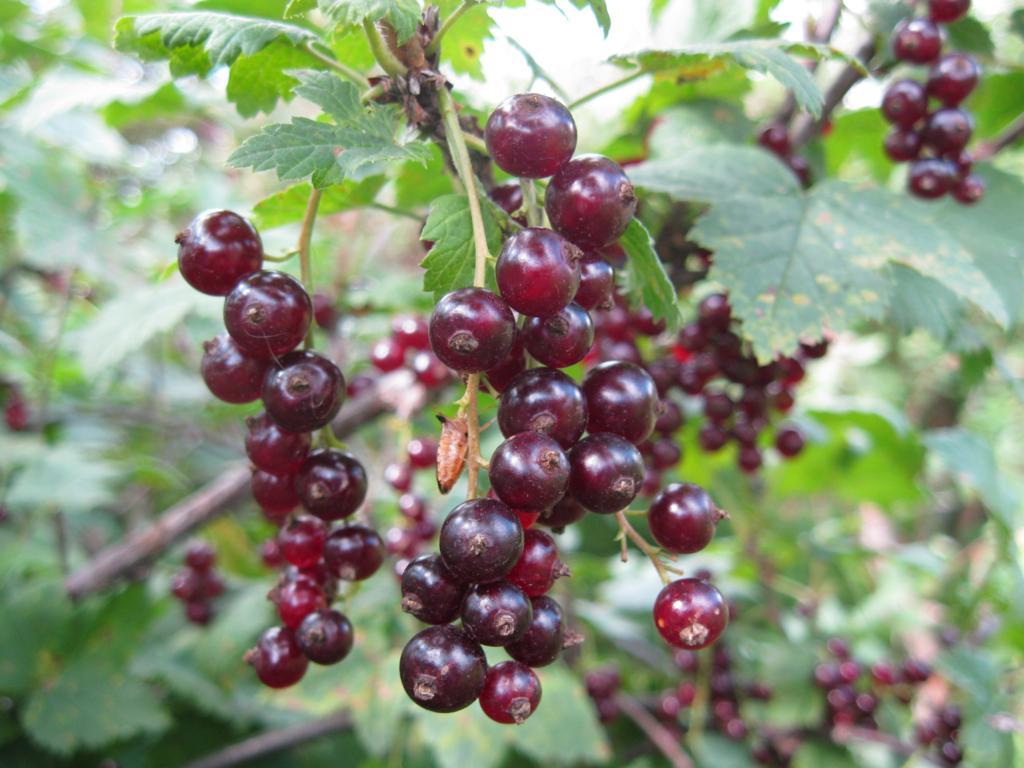 Сорт красной смородины: Рачновская (Ранняя Смольяниновой)