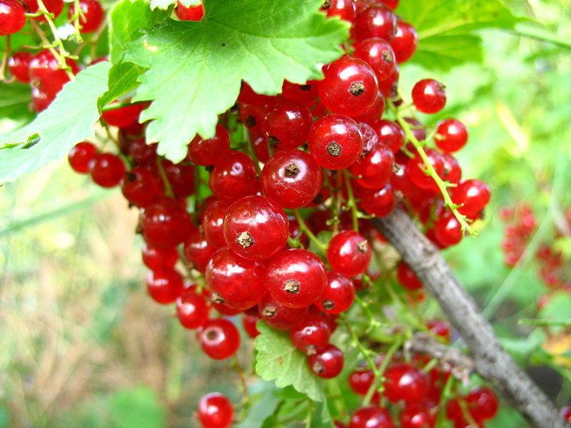 Сорт красной смородины: Ранняя сладкая