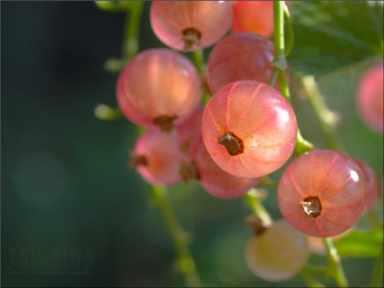 Сорт красной смородины: Роза