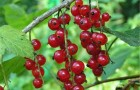 Сорт красной смородины: Уральские зори