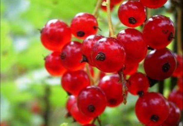 Сорт красной смородины: Уральский сувенир