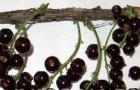 Сорт красной смородины: Виксне (Красная Виксне, Вишнёвая Виксне)