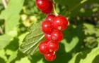 Сорт красной смородины: Задунайская (Красная Смольяниновой)