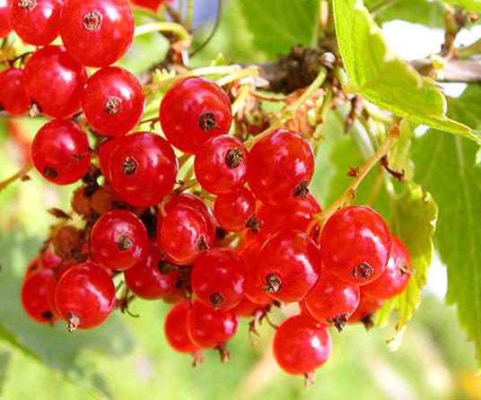 Сорт красной смородины: Заря Заполярья