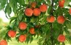 Сорт персика: Хадуссамат желтый (Гимринский желтый, Хадуссамат)