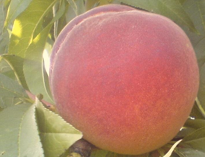 Сорт персика: Ред хавен
