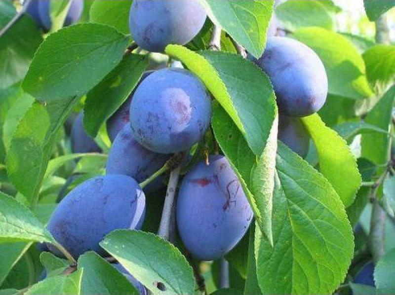 Сорт сливы домашней: Фиолетовая