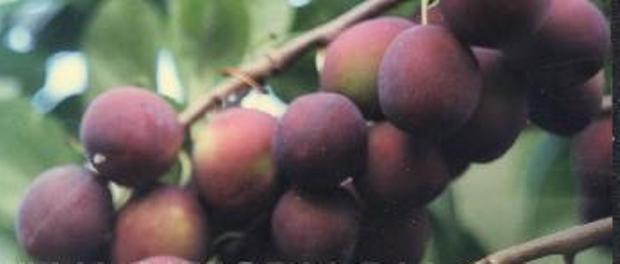 Сорт сливы домашней: Крупноплодная Елисеева