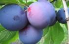 Сорт сливы домашней: Куйбышевская синяя