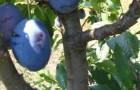 Сорт сливы домашней: Синяя птица