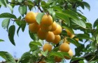 Сорт сливы домашней: Татарская желтая