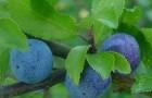 Сорт сливы домашней: Теньковская голубка