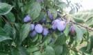 Сорт сливы домашней: Теньковская синяя