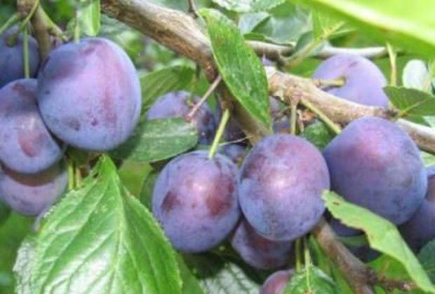 Сорт сливы домашней: Яичная синяя