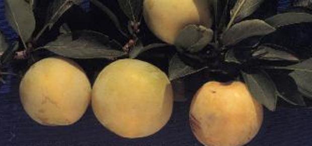 Сорт сливы китайской: Хабаровская желтая