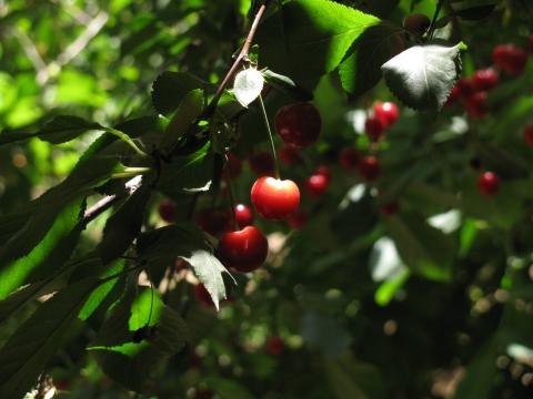 Сорт вишни обыкновенной: Аляевская
