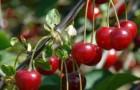Сорт вишни обыкновенной: Анадольская