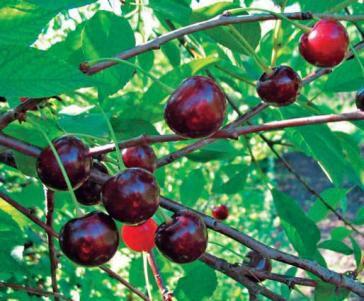 Сорт вишни обыкновенной: Антрацитовая